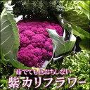 【12上旬頃収穫予定】料理しても壊れないビタミンC!紫カリフラワー『パープルフラワー』1株