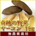 【12月10日と1月中旬収穫発送予定】無農薬ヤーコン1kgシャキシャキと生で健康サラダにピッタリ