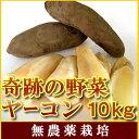 【順次発送】栽培時農薬不使用訳ありヤーコン大小様々10kgシャキシャキと生で健康サラダにピッタリ