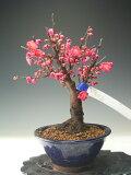 【バーゲン・セール】盆栽 梅 鹿児島紅梅(八重咲き、赤花)