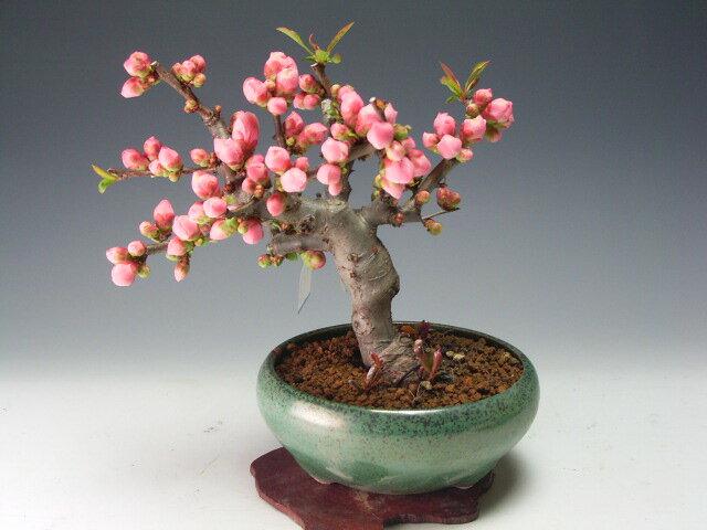 花芽付き!ボケ(富士の嶺)の鉢植え盆栽(ピンク・一重咲き)2019早春開花予定