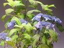 楽天山野草と盆栽の専門店ヴェールモア【バーゲン・セール】山アジサイ(黒姫)の鉢植え(大)今年の開花は終わっております。