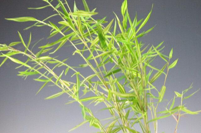 山野草 斑入り姫竹の苔玉の紹介画像2