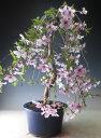 【父の日 2018】【バーゲン・セール】桜盆栽 富士桜しだれ 今年の開花は終わっております。【ラッピング無料】