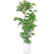 観葉植物 エバーフレッシュ 10号 160cm ギフト 開店 新築 引っ越し 祝い インテリア グリーン
