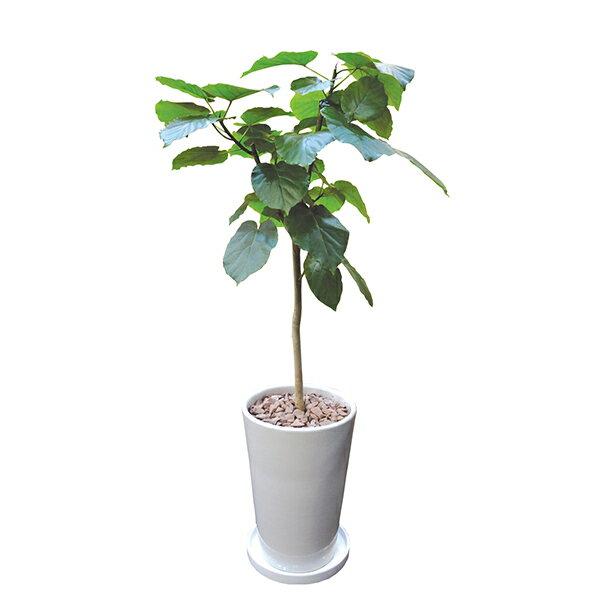 観葉植物 ソングオブインディ 10号 170cm...の商品画像