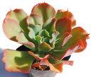王妃の花笠 エケベリア属 多肉植物 9cmポット
