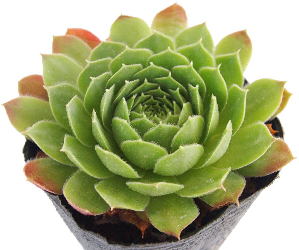 ラリッサ センペルビウム属 多肉植物 9cmポット