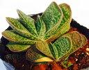 白馬錦(ハクバニシキ)ガステリア属 多肉植物 9cmポット