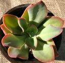 紅の鶴(ベニノツル) エケベリア属 多肉植物 9cmポット