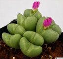 葉の中心の割れ目から紫色の花を咲かす。脱皮をする植物で可愛い姿が人気。
