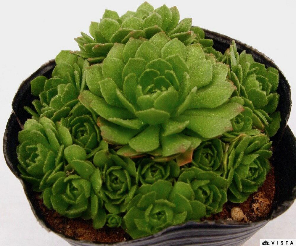 クリサンサム プロメテウム属 多肉植物 9cmポット