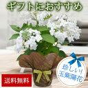 鉢植え 花 ギフト 珍しい品種 瓔珞玉紫陽花 蕾付 ヨウラクタマアジサイ 5号 花茎5本以上 あじさ