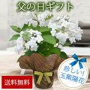 まだ間に合う 父の日 花 鉢植え ギフト 珍しい品種 瓔珞玉紫陽花 蕾付 ヨウラクタマアジサイ 5号