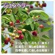 【果樹】ジュンベリー2年性 5号鉢高さ120cm前後