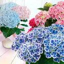 【遅れてごめんね】母の日 ギフト 花 鉢植え 送料無料 母の...