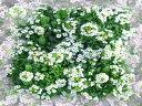 スイートアリッサム3株セット 7色から選べる【お届け中】Lobularia maritima 春苗 冬苗 秋苗 花苗 1年草 ガーデニング 苗 寄せ植え