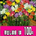【10周年特別企画】芽出し球根 フリージア混合植え1鉢セット