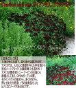 ダイアンサス ブラックベアー1鉢 3号【お届け中】【春苗 冬苗 秋苗 黒花】Dianthus barbatus Black Bear【イングリッ…