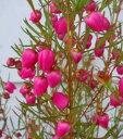 ボロニア ヘテロフィラ 4号1鉢Boronia heterophylla