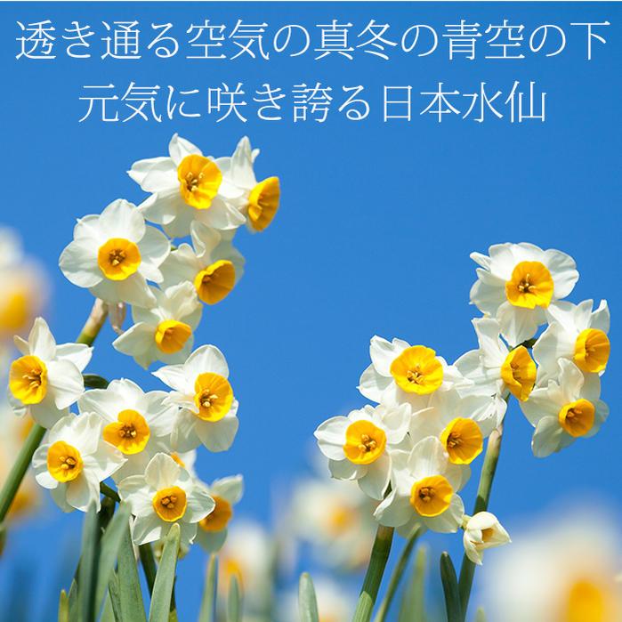 訳アリ球根芽が出ちゃった水仙日本水仙球根1球Narcissustazettavarchinensis