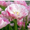 八重咲き晩生 チューリップ  アンジェリケ 10球【秋植え球根 お届け10月上旬〜】Tulip Angelique