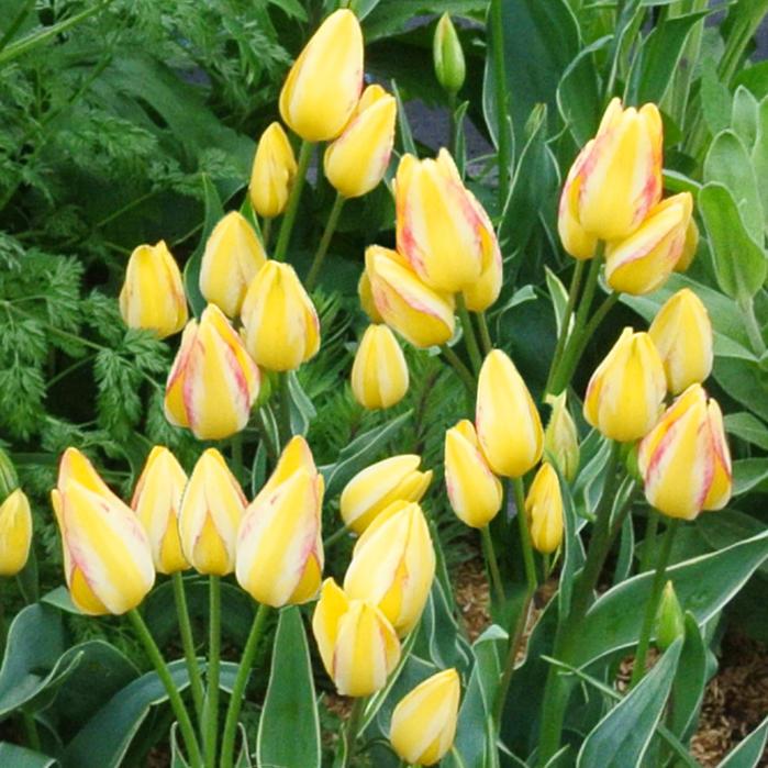 球根枝咲きチューリップアントワネット10球セットお届け中黄花Tulipantoinette秋植え球根