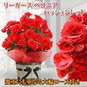 【鉢花】大輪バラ咲き リーガース ベゴニア パッションレッド 籠付きラッピング5号 【送料無料 同梱不可 母の日ギフト】