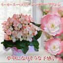【鉢花】ベコニア シンディーフリンジ籠付きラッピング5号 【送料無料 同梱不可 母の日のギフト】