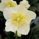 【鉢花】原種クリスマスローズ ニゲル 4.5号 花なし 【お届け中】ニガー系 H.niger 多年草 白花