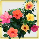 7 indoor hibiscus Sonny series kinds 5 bowl [Mother's Day gift] available [impossibility designated on a delivery date] [bowl flower Mothers D comfort ギフ _ packing comfort ギフ _ Messe bowl flower]
