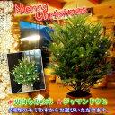 クリスマスツリー モミの木 ドイツトウヒ 8号鉢 鉢下より約110cm 【同梱不可】【ドイツトウヒツリー】茶色のプラ鉢でお届け