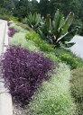 紫御殿 【3鉢セット】ムラサキゴテン セトクレアセア 3.5号 Setcreasea purpuea【ガーデニング 寄せ植え 苗 花苗 セット】多年草