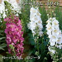 バーバスカム 2種より選択 ホワイトorロジータ 3号Verbascum phoeniceum【イングリッシュガーデンに使える宿根草 花壇 ガーデン 花苗 白花 コマノハグサ科 】