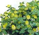 クローバーゴールドコーン 1鉢3号 Clovergoldcorn【多年草 春苗 花苗 苗 鉢植え 庭植え ガーデニング 花壇】