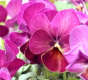 ビオラ こうめももか 2鉢セット【花苗 秋苗  一年草 viola イングリッシュガーデン 花苗 鉢植え 庭植え 花壇】