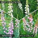 【花苗】 リナリア プルプレア 3種より選択 1鉢3号【お届...