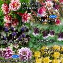 アクレギタワー咲き 5品種5鉢セット【お届け1月下旬〜】【西洋オダマキ 春苗 花苗】 Aquilegia