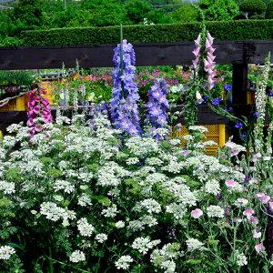 オルレア グランディーフローラー grandiflora イングリッシュ ガーデン
