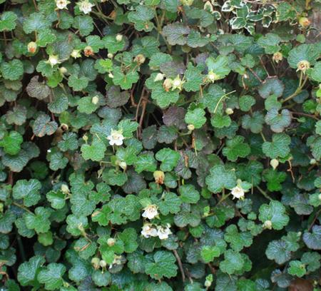 花苗ルブスカリシノイデス1鉢3号お届け中Rubuscalycinoides常緑つる性低木ルブスカラー