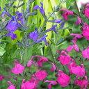 サルビア 2種より選択 3.5号ブラッシュパープル・ブラッシュピンク Salvia microphylla Pink【冬苗 秋苗 ガーデニング 花苗 紫桃花 イングリッシュガーデン ガーデン 花壇 鉢植え 寄せ植え】