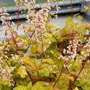 ヒューケラ シャンパン 2.5号 小型葉 ライム系【お届け中】Heuchera Champagne 常緑多年草 花苗 シェイドガーデン カラーリーフ ガーデニング 花 苗 ガーデン 花壇 鉢植え 寄せ植え