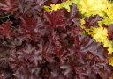 ヒューケラ フリンジチョコ 2.5号 大型葉・ブラック系 Heuchera Fringe Choco 常緑多年草 花苗 シェイドガーデン カラーリーフ ガーデニング 花 苗 花苗 ガーデン 花壇 鉢植え 寄せ植え