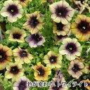 RoomClip商品情報 - アンスカラーの新色 ペチュニア ヨコハマシリーズ1鉢 3.5号 Petunia×hybrida