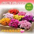 バラ咲き プリムラ ジュリアン4鉢セット MIXカラーPrimula【プリムラ】