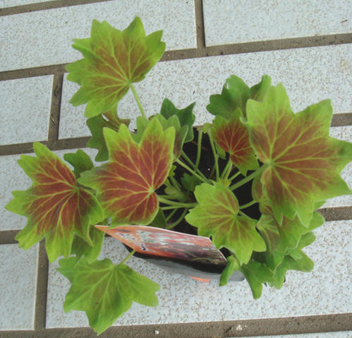 Maple Leaf vs Pot Leaf Maple Leaf Geraniums 3 1 Pot