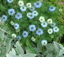 ニゲラ ブルーミゼット 1鉢3号ロングポット Nigella damascena Blue Midg