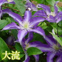 花苗】日本生まれのクレマチス 大流 3.5号ロング鉢 3年生ガーデン1鉢 GARDEN CLEMATIS