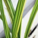 黄斑入りダイアネラ 1鉢 3.5号 花苗【お届け中】Dianella caerulea variegata 有毒植物 キキョウラン 斑入り葉 黄斑 夏の花 苗