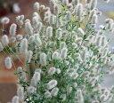 トリフォニウム バニーズ 1鉢3号 Trifolium arvense【一年草 春苗 花苗 クローバー イングリッシュガーデン 苗 鉢植え 庭植え ガーデニング 花壇】